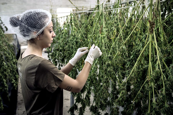 Cannibis worker facility